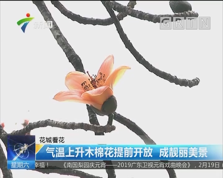 花城看花:气温上升木棉花提前开放 成靓丽美景
