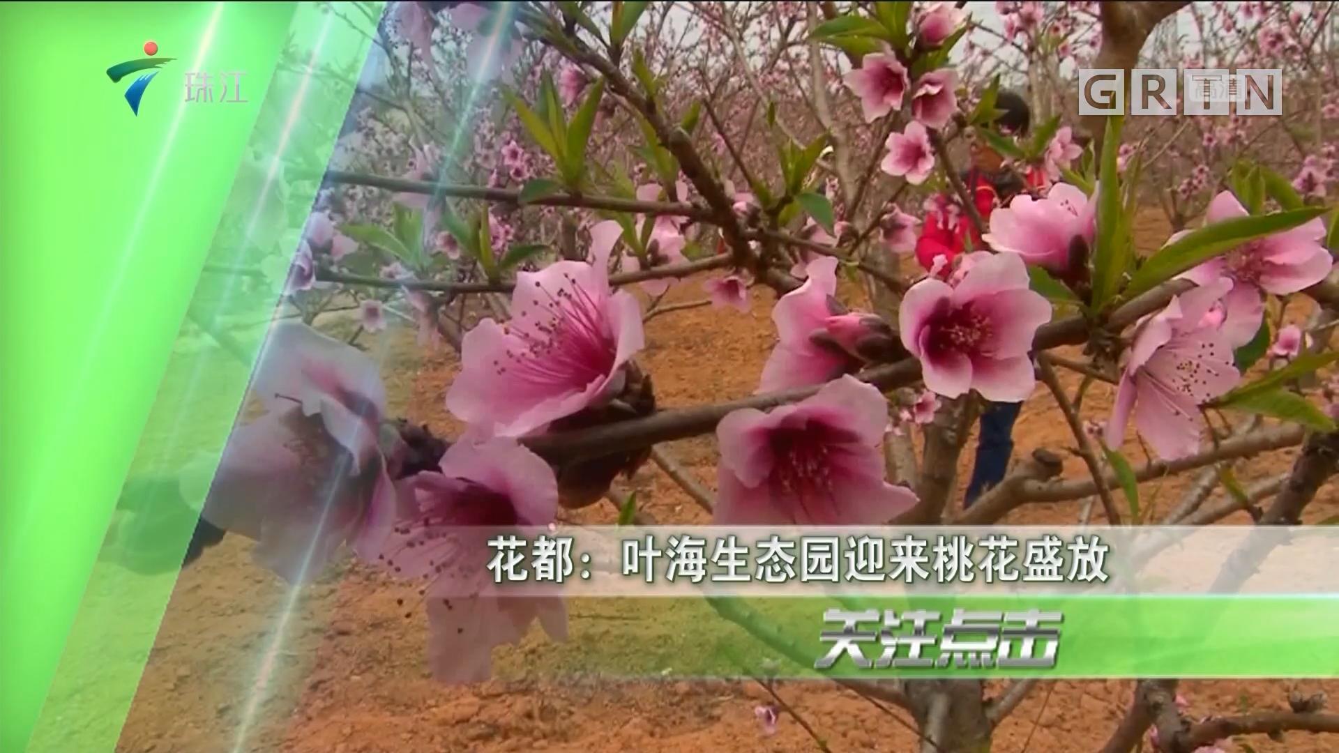 花都:叶海生态园迎来桃花盛放