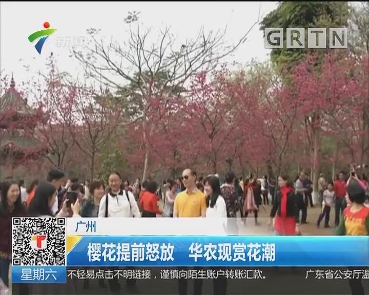 广州:樱花提前怒放 华农现赏花潮