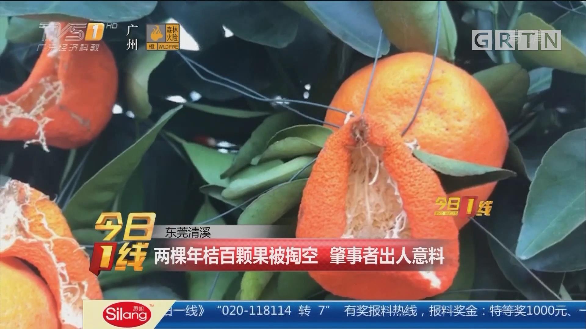 东莞清溪:两棵年桔百颗果被掏空 肇事者出人意料