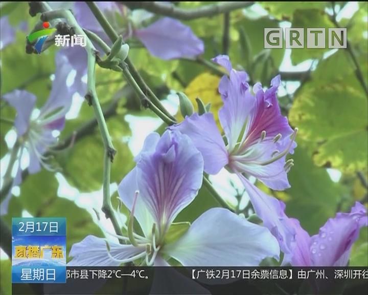 肇庆:宫粉紫荆提前开放 三月中旬为最佳赏花期