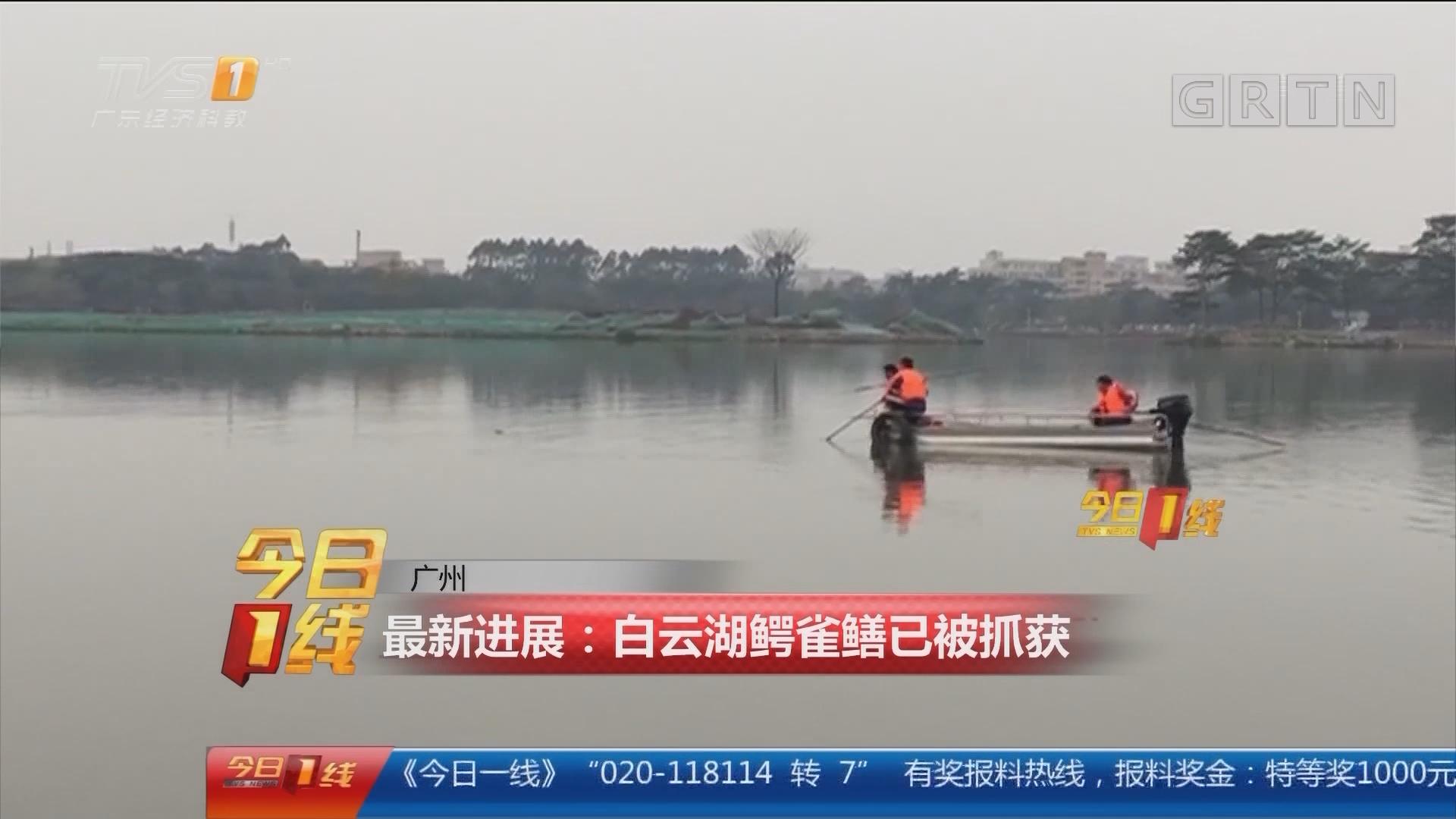 广州 最新进展:白云湖鳄雀鳝已被抓获