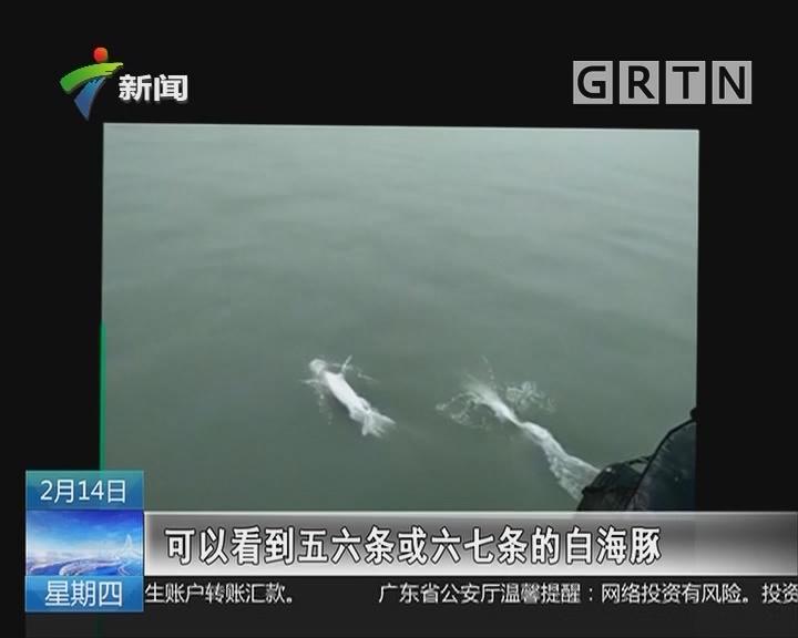 """中山:""""水中熊猫""""白海豚现身中山水域"""