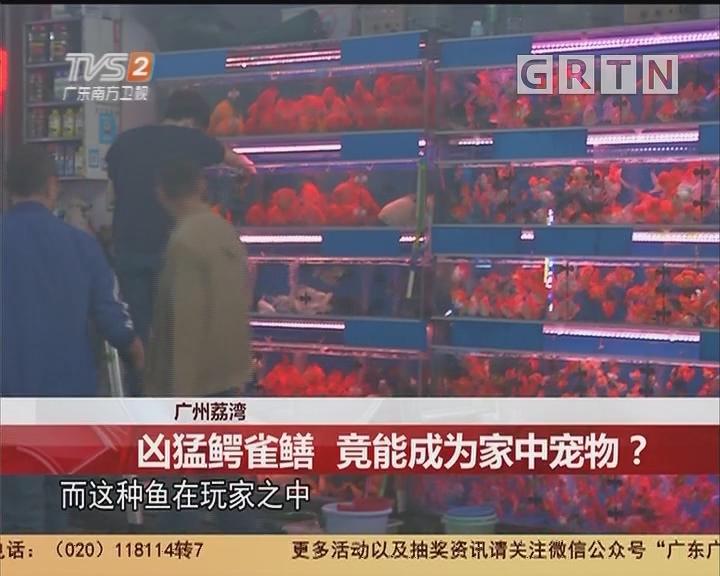 广州荔湾:凶猛鳄雀鳝 竟能成为家中宠物?