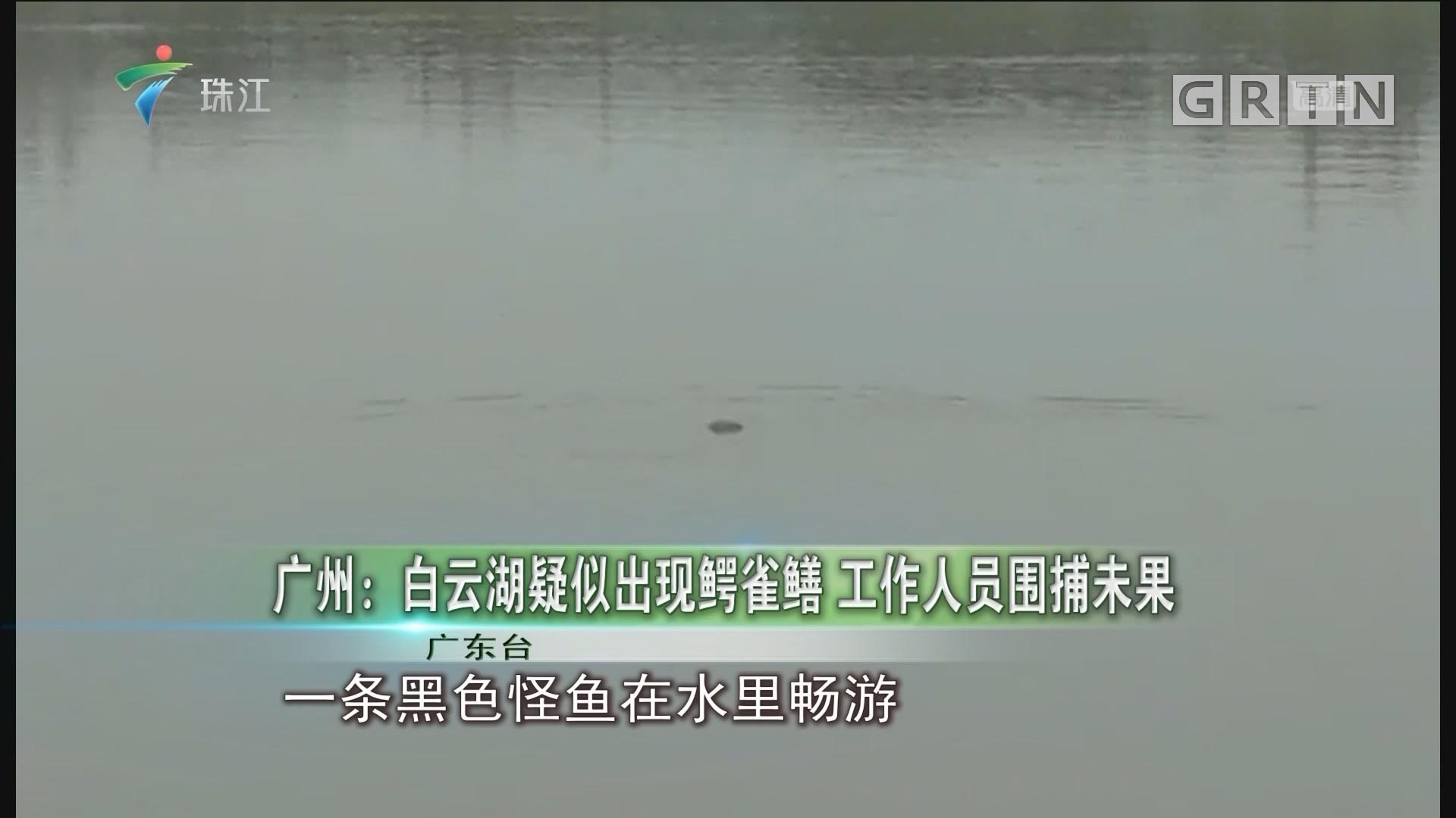 广州:白云湖疑似出现鳄雀鳝 工作人员围捕未果