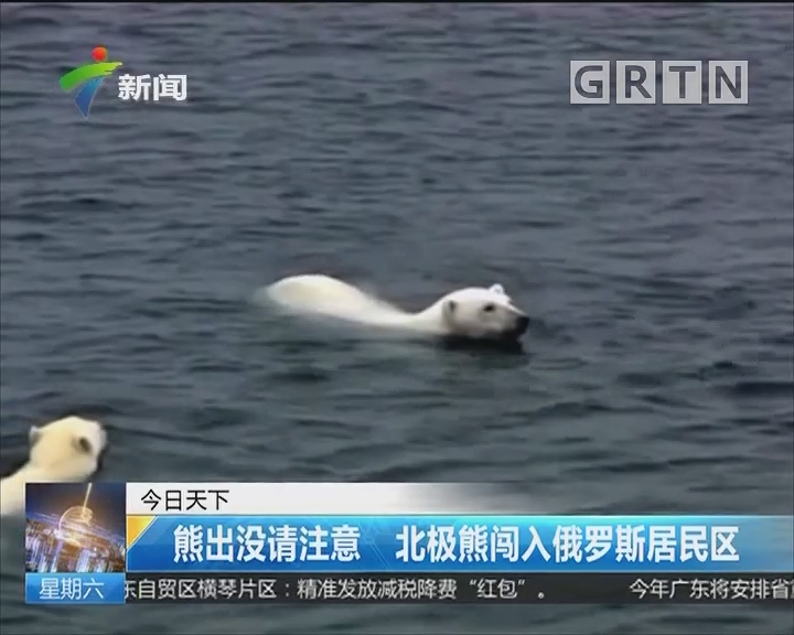 熊出没请注意 北极熊闯入俄罗斯居民区