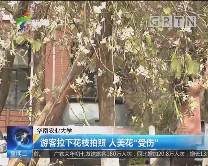 """华南农业大学:游客拉下花枝拍照 人美花""""受伤"""""""