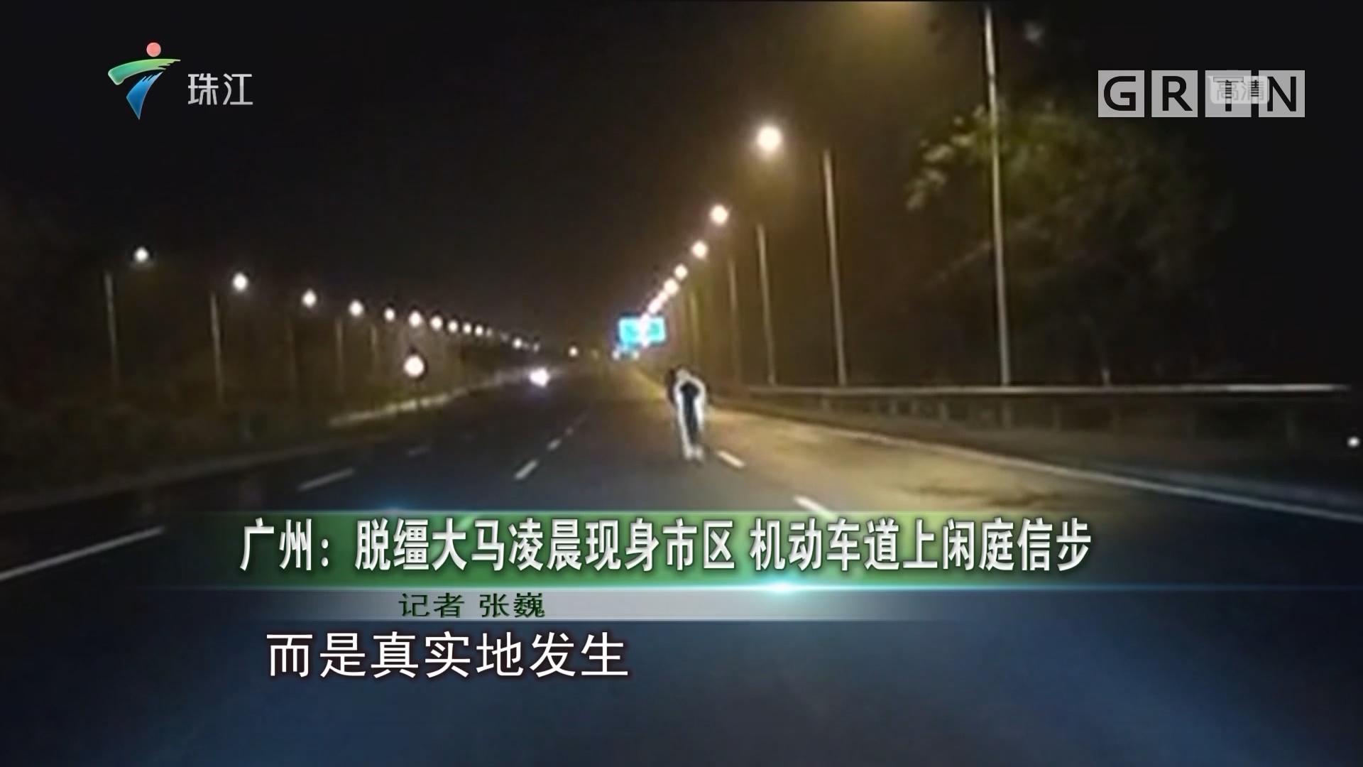 广州:脱缰大马凌晨现身市区 机动车道上闲庭信步