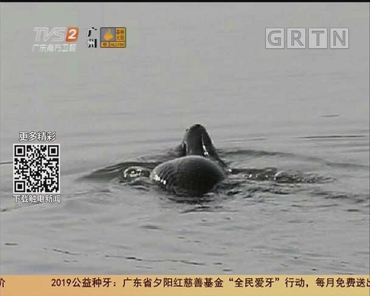 广州白云湖:景区惊现神秘怪鱼 身披鳞片嘴似鳄鱼