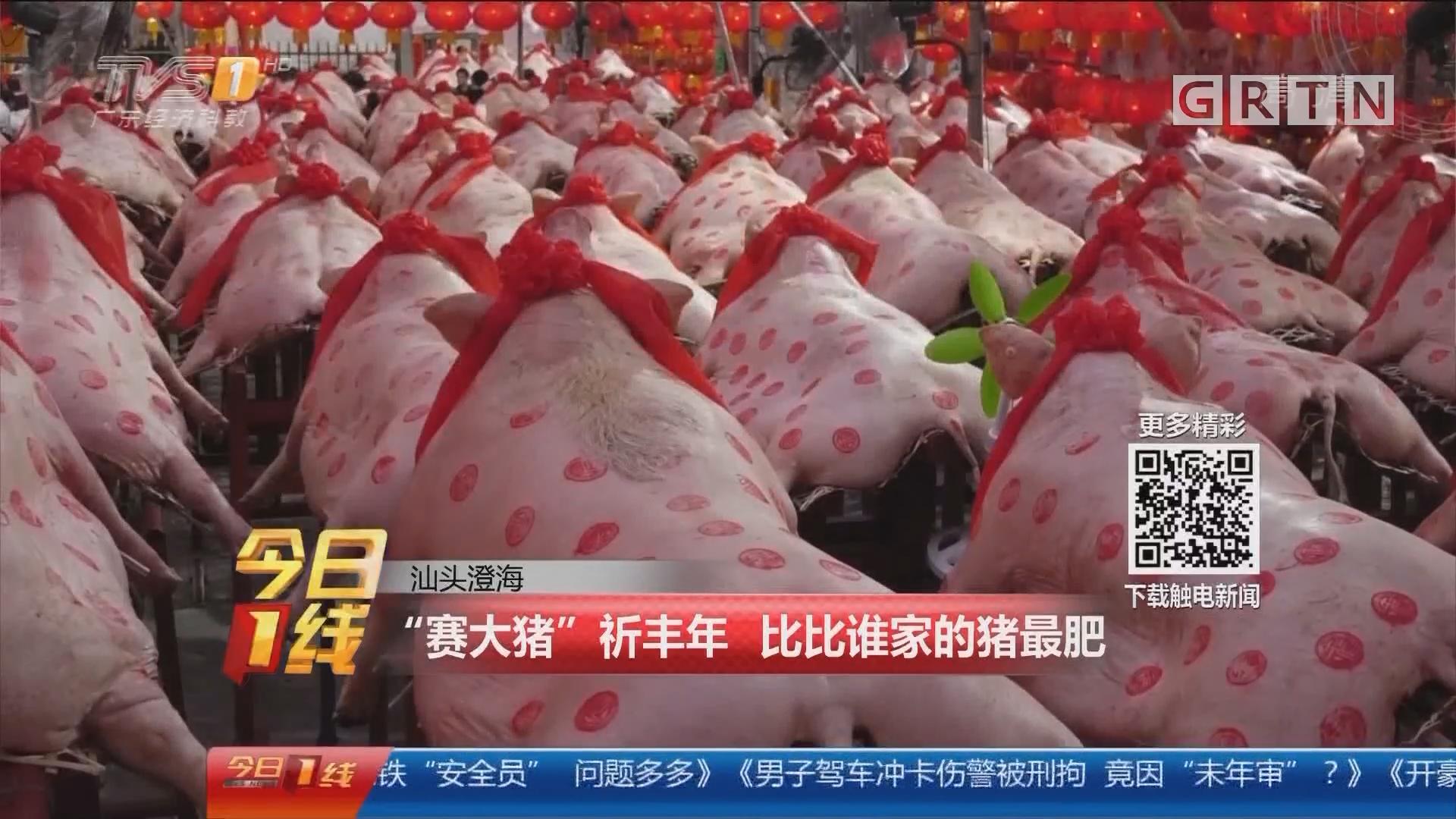 """汕头澄海:""""赛大猪""""祈丰年 比比谁家的猪最肥"""