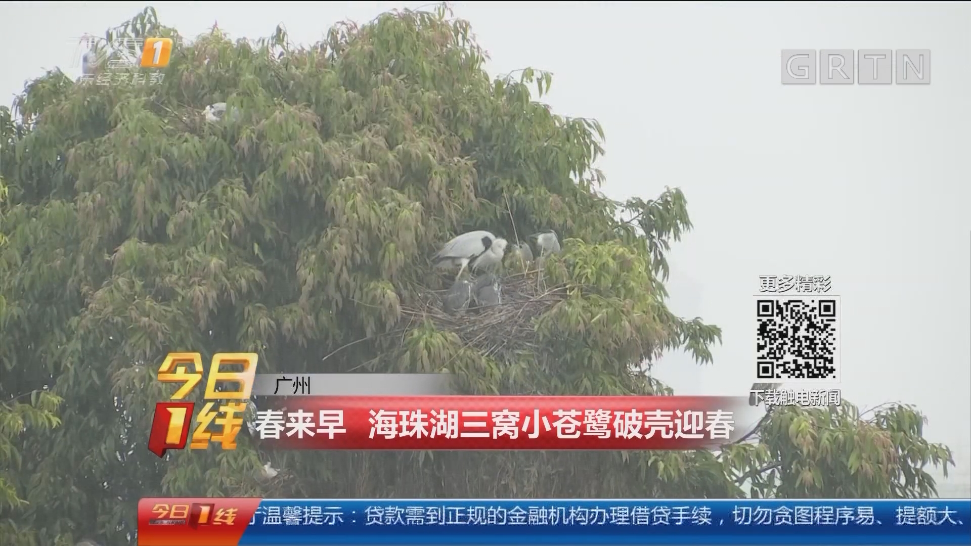 广州:春来早 海珠湖三窝小苍鹭破壳迎春
