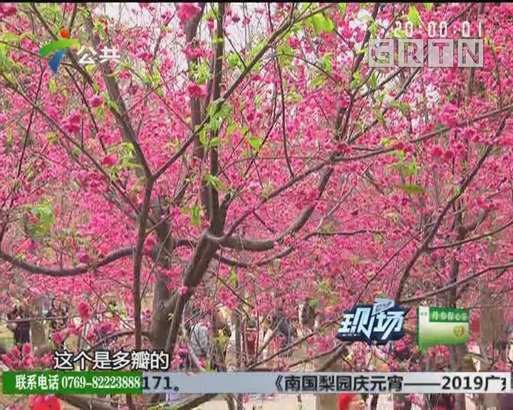 广州:华农花丛绽放 美景不容错过