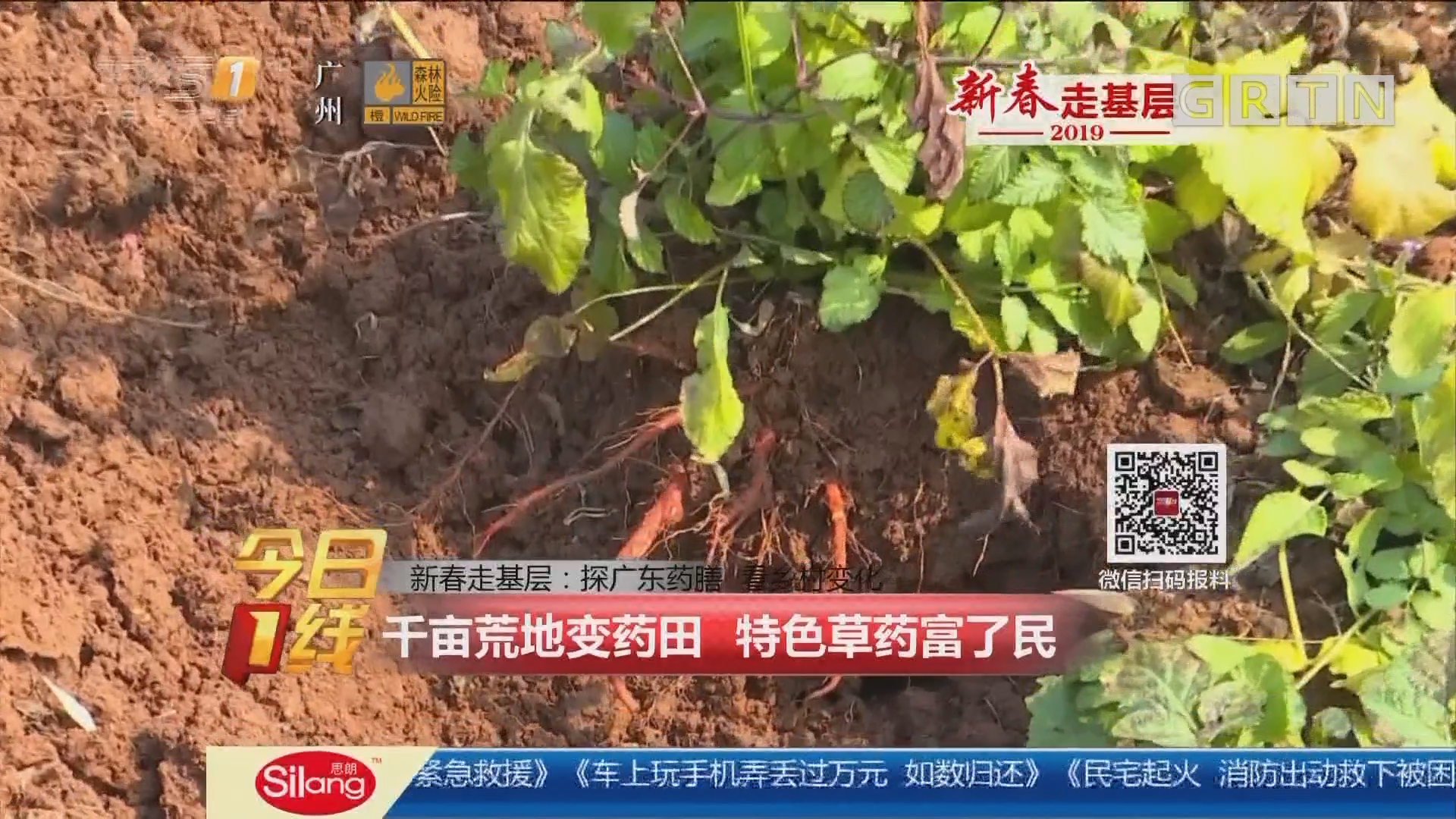 新春走基层:探广东药膳 看乡村变化 千亩荒地变药田 特色草药富了民