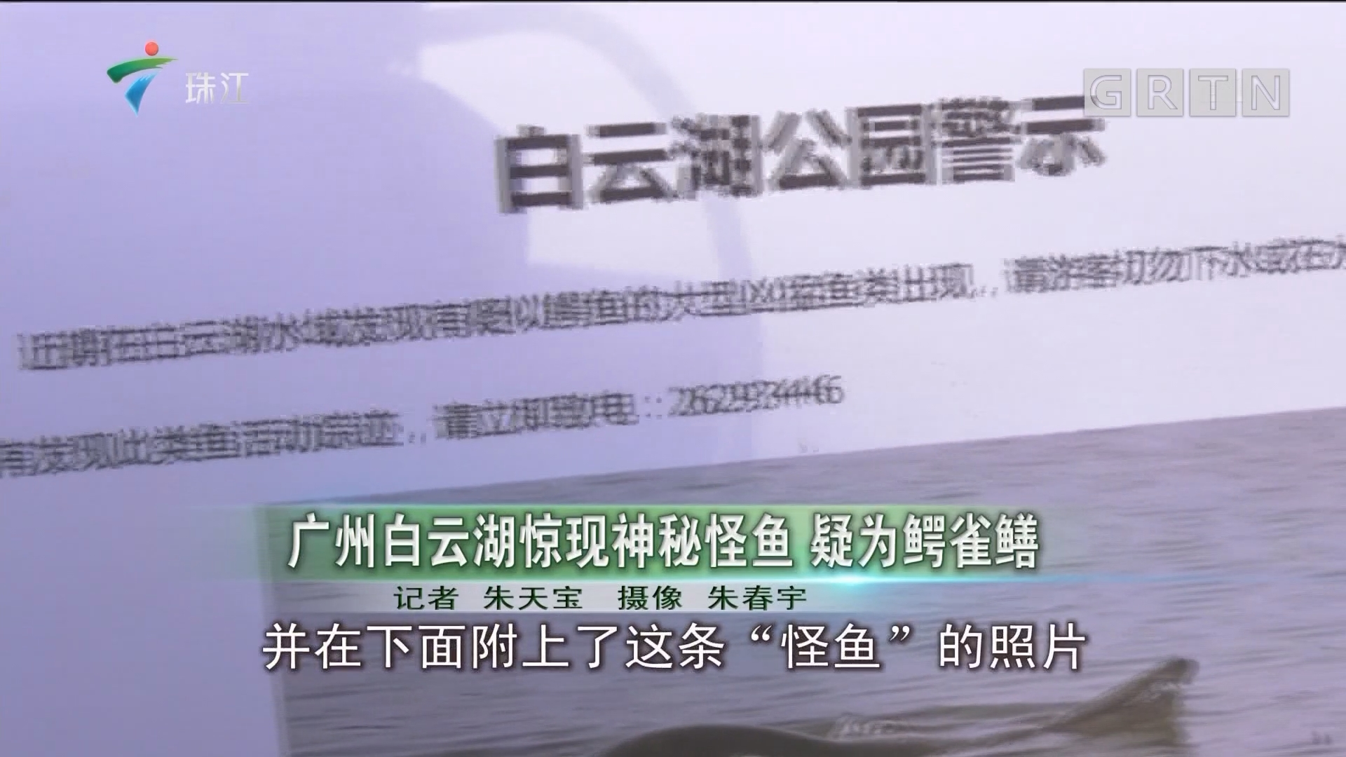 广州白云湖惊现神秘怪鱼 疑为鳄雀鳝