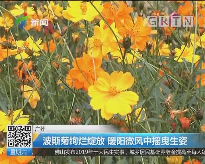 广州:波斯菊绚烂绽放 暖阳微风中摇曳生姿