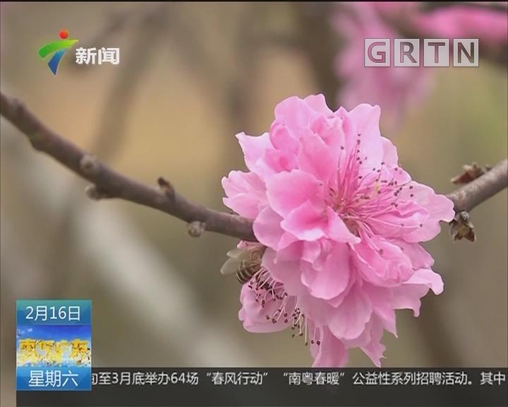 河源:东源观塘公园50亩桃花迎春盛开