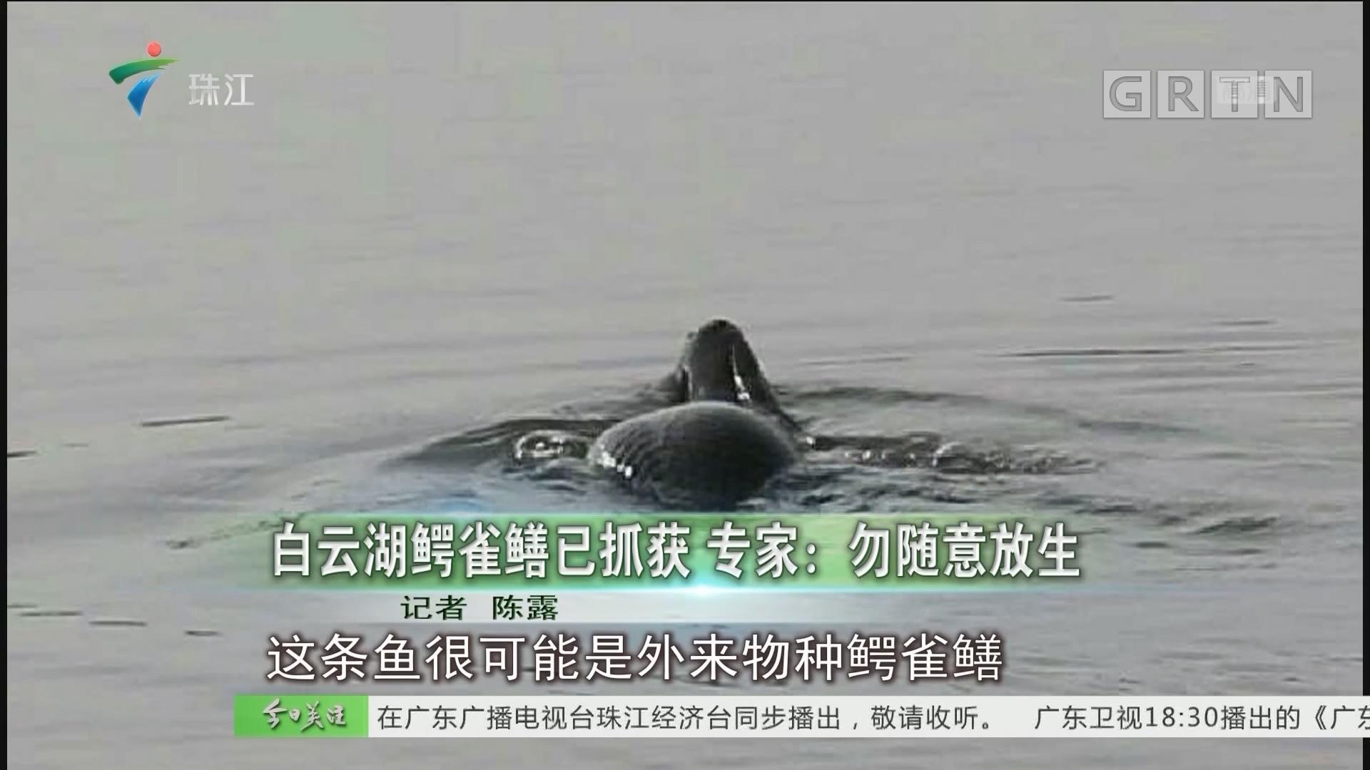 白云湖鳄雀鳝已抓获 专家:勿随意放生