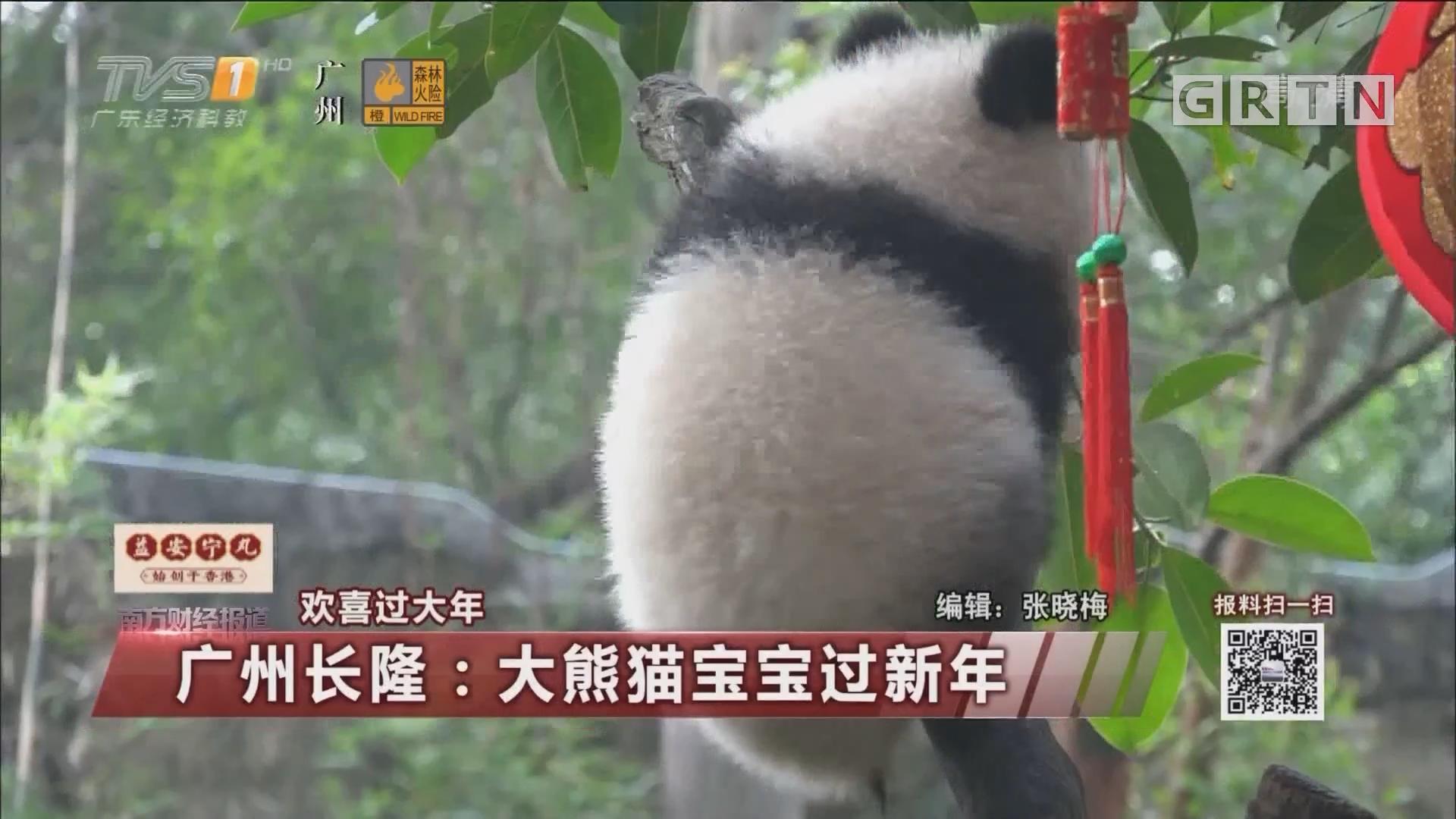 广州长隆:大熊猫宝宝过新年