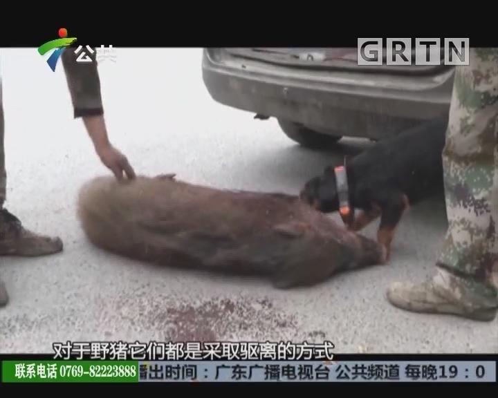 小区闯入一头野猪 特警将其击毙