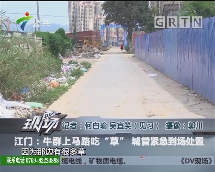 """江门:牛群上马路吃""""草"""" 城管紧急到场处置"""
