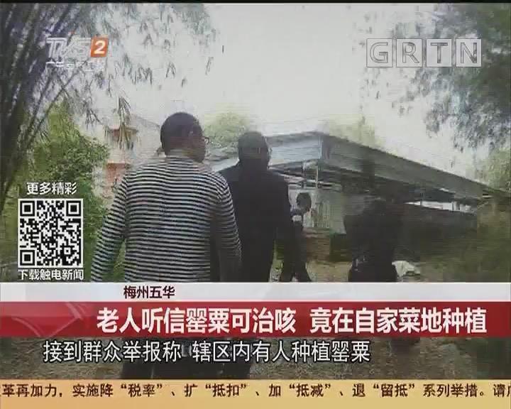 梅州五华:老人听信罂粟可治咳 竟在自家菜地种植