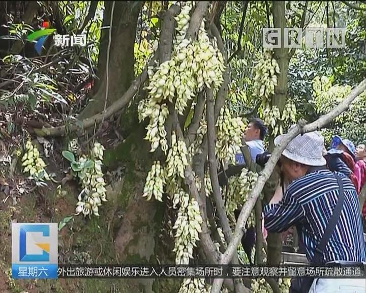 广州:天鹿湖森林公园 踏青赏禾雀花美景