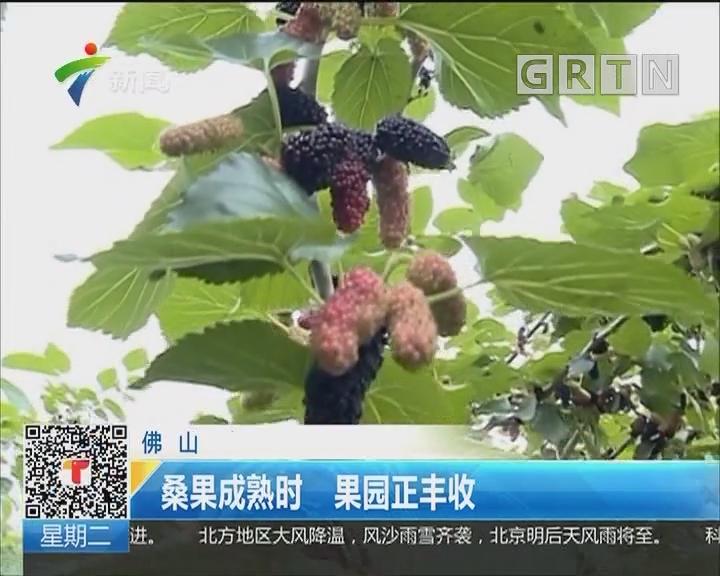 佛山:桑果成熟时 果园正丰收
