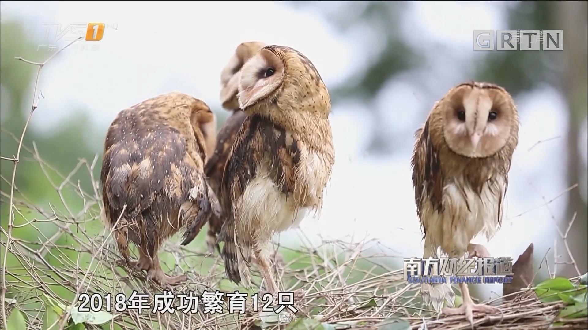 广州:4只人工繁殖猴面鹰首次亮相