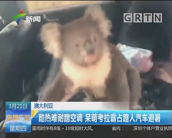 澳大利亚:酷热难耐蹭空调 呆萌考拉霸占路人汽车避暑