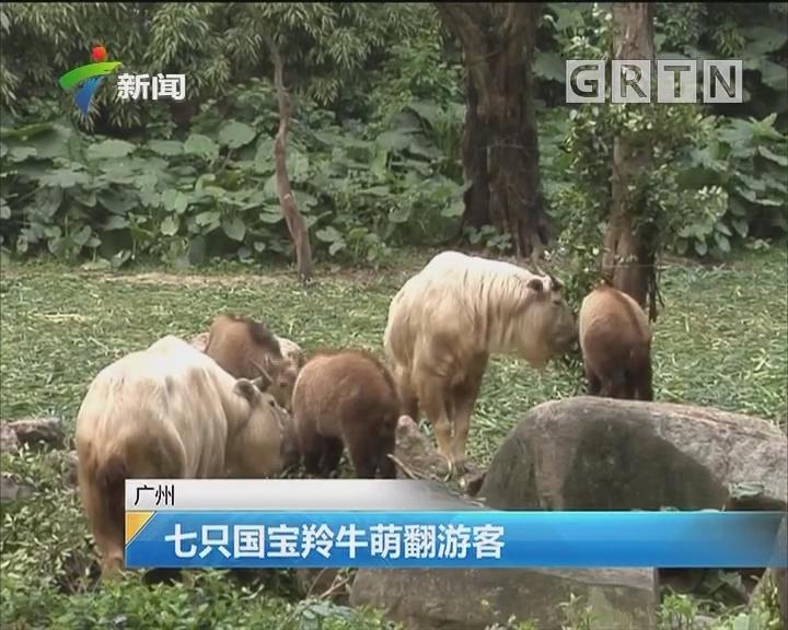 广州:七只国宝羚牛萌翻游客
