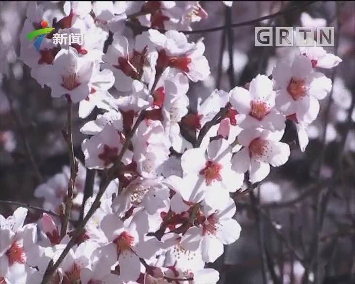 高原桃花仙境