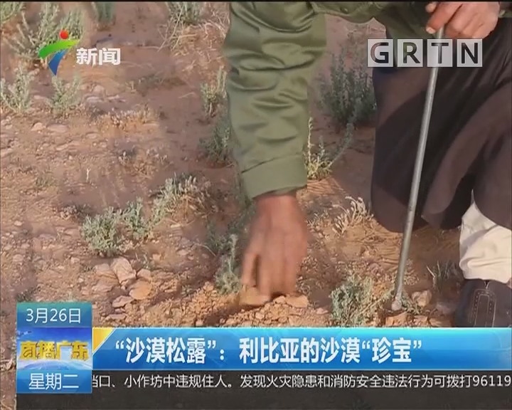 """""""沙漠松露"""":利比亚的沙漠""""珍宝"""""""