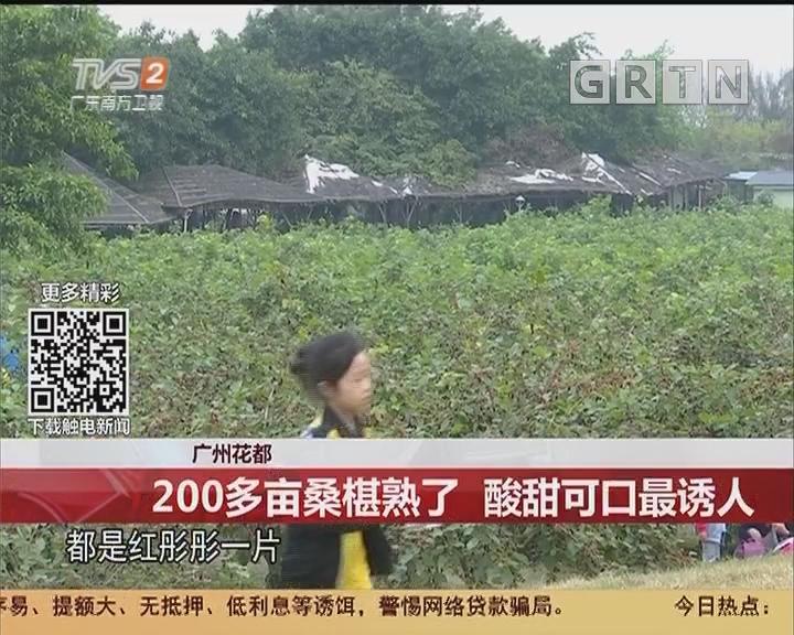 广州花都:200多亩桑椹熟了 酸甜可口最诱人