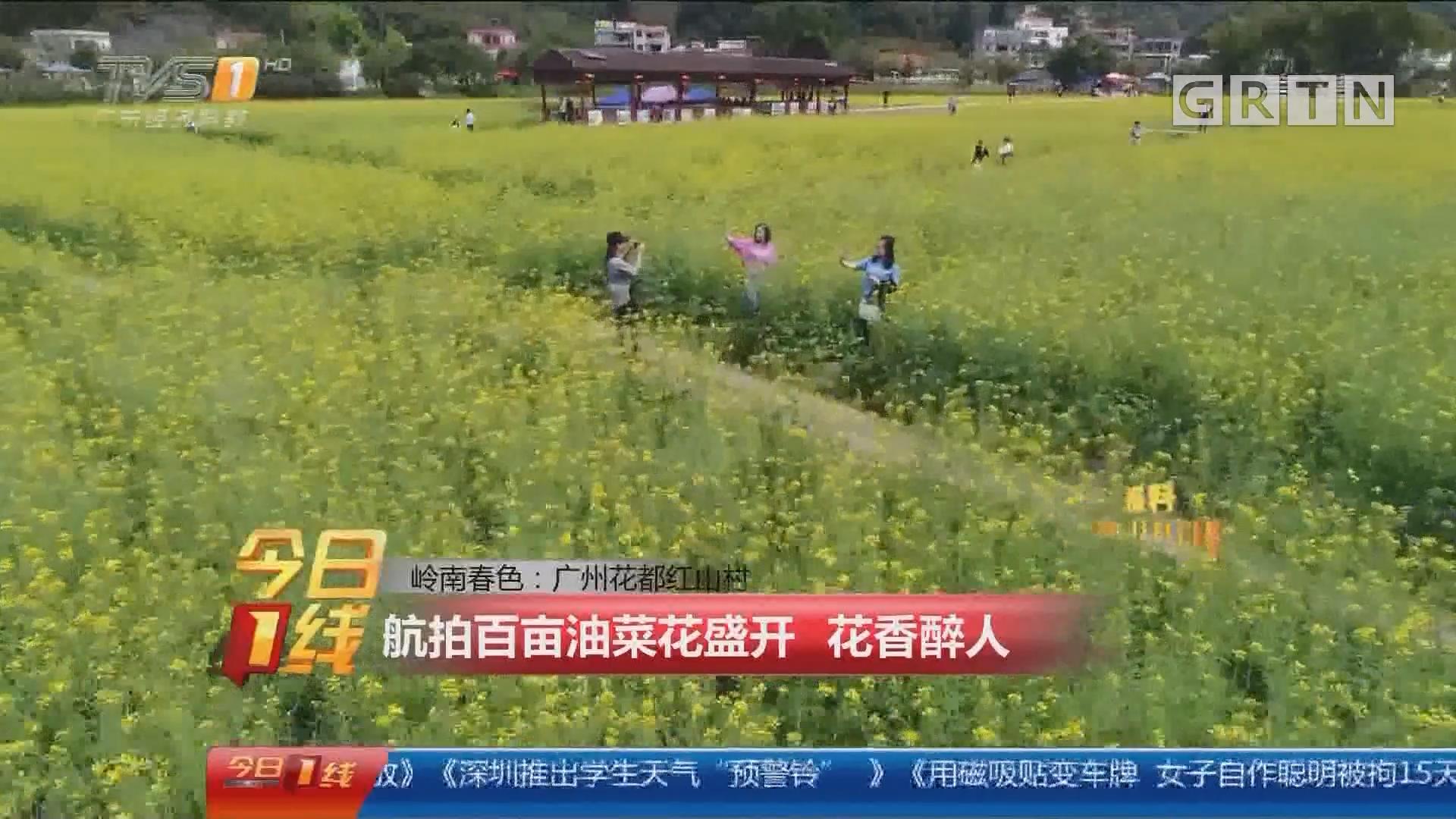岭南春色:广州花都红山村 航拍百亩油菜花盛开 花香醉人