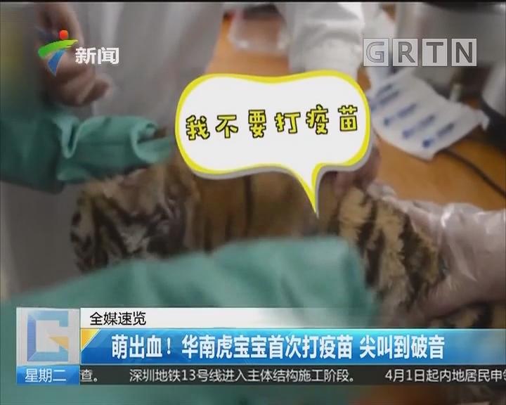 萌出血!华南虎宝宝首次打疫苗 尖叫到破音