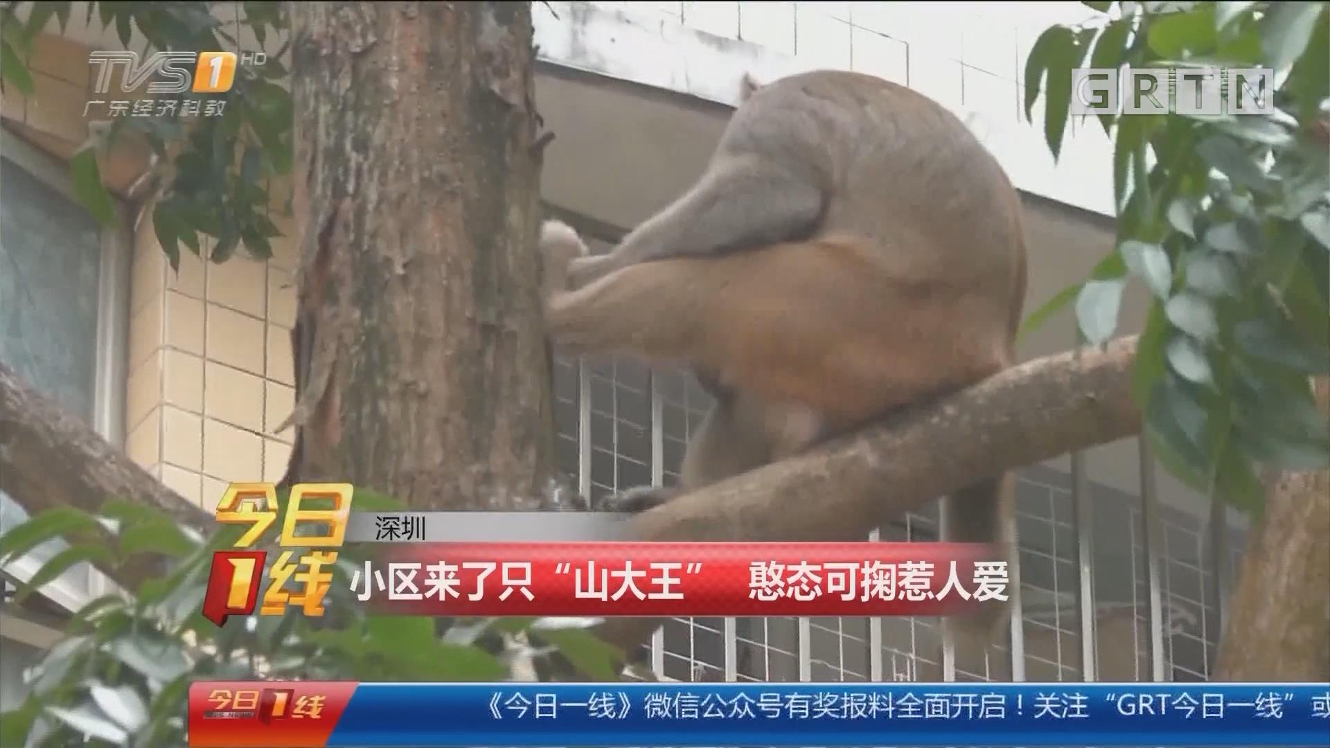 """深圳:小区来了只""""山大王"""" 憨态可掬惹人爱"""