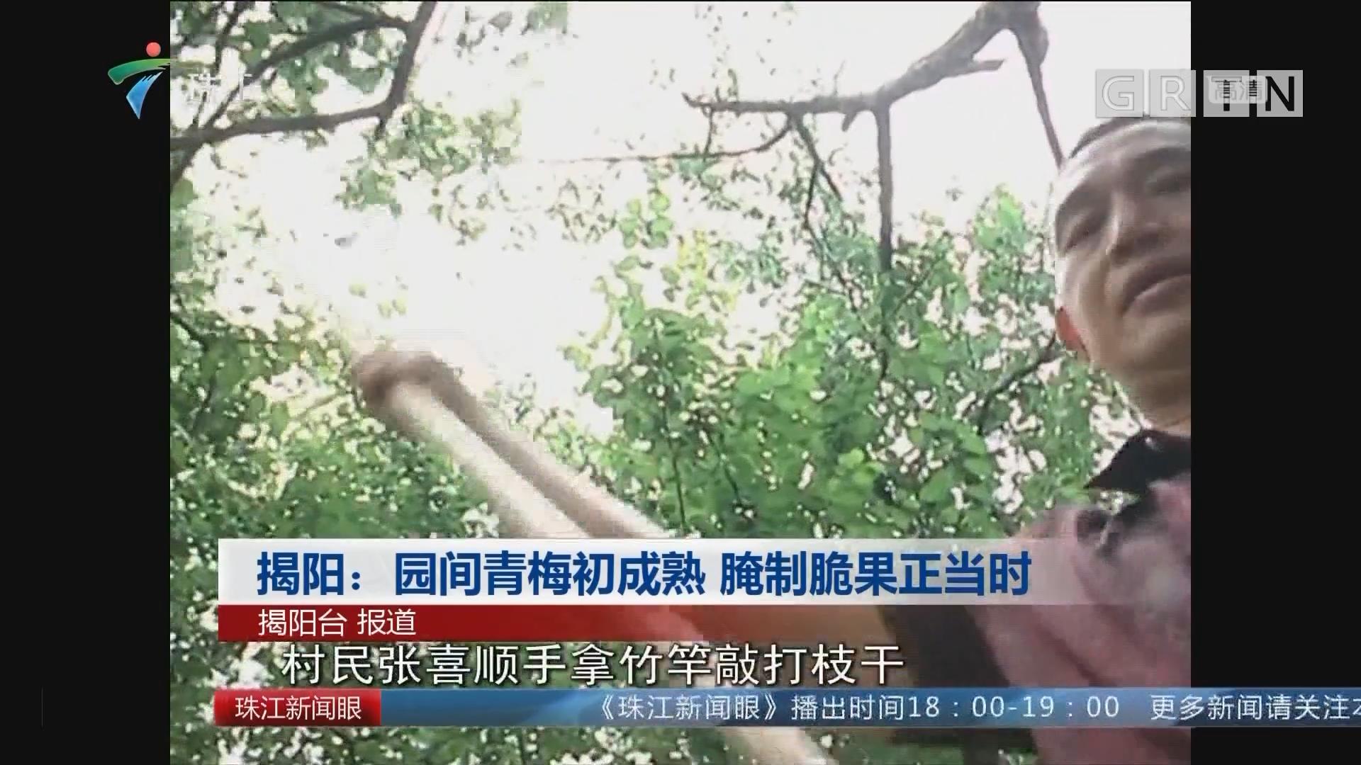 揭阳:园间青梅初成熟 腌制脆果正当时