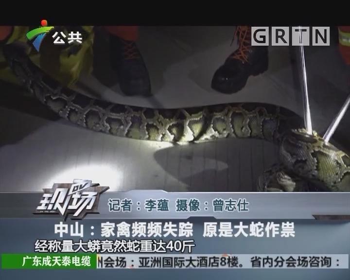 中山:家禽频频失踪 原是大蛇作祟