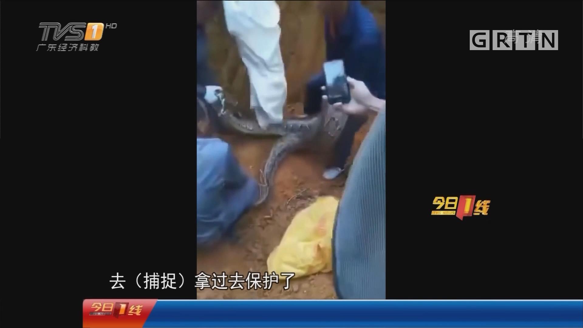 佛山高明:70斤巨蟒出没!三壮汉合力捉蛇
