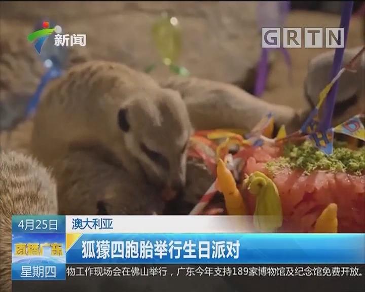 澳大利亚:狐獴四胞胎举行生日派对