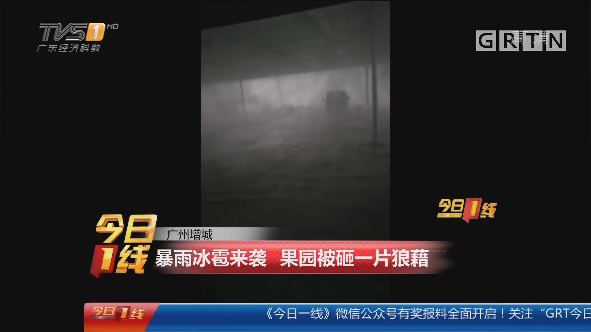 广州增城:暴雨冰雹来袭 果园被砸一片狼藉