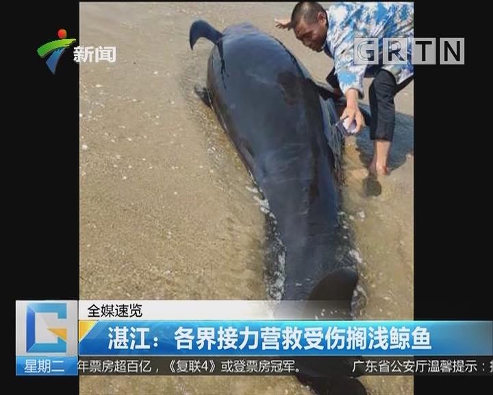 湛江:各界接力营救受伤搁浅鲸鱼
