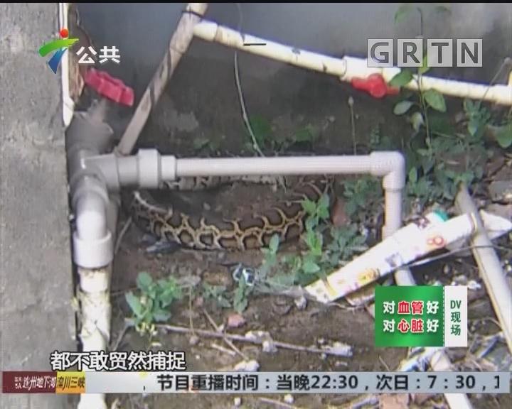 东莞:2斤重蟒蛇盘踞店旁 警方迅速擒获放生