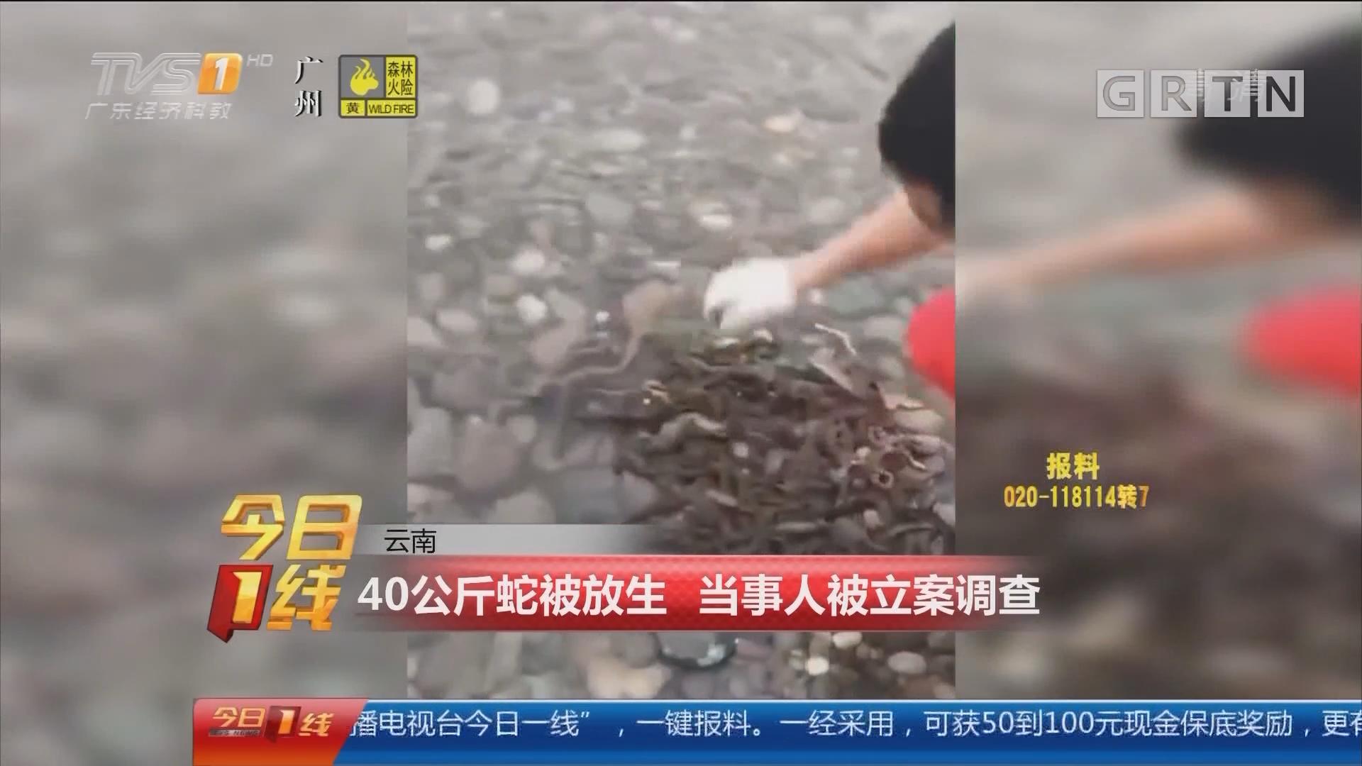 云南:40公斤蛇被放生 当事人被立案调查