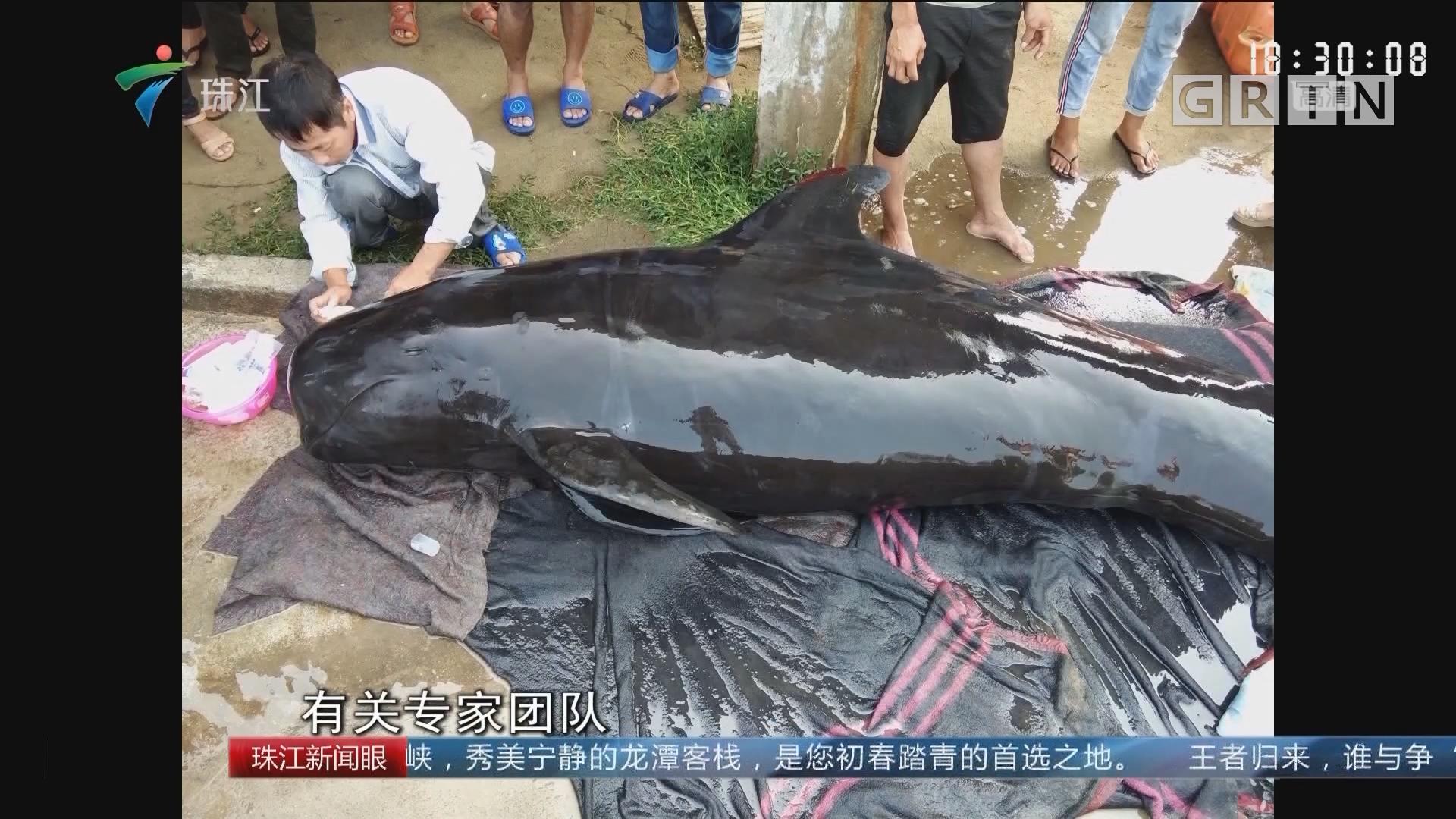 湛江:接力营救800多斤受伤搁浅鲸