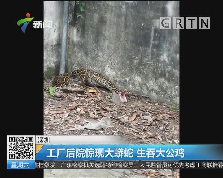 深圳:工厂后院惊现大蟒蛇 生吞大公鸡