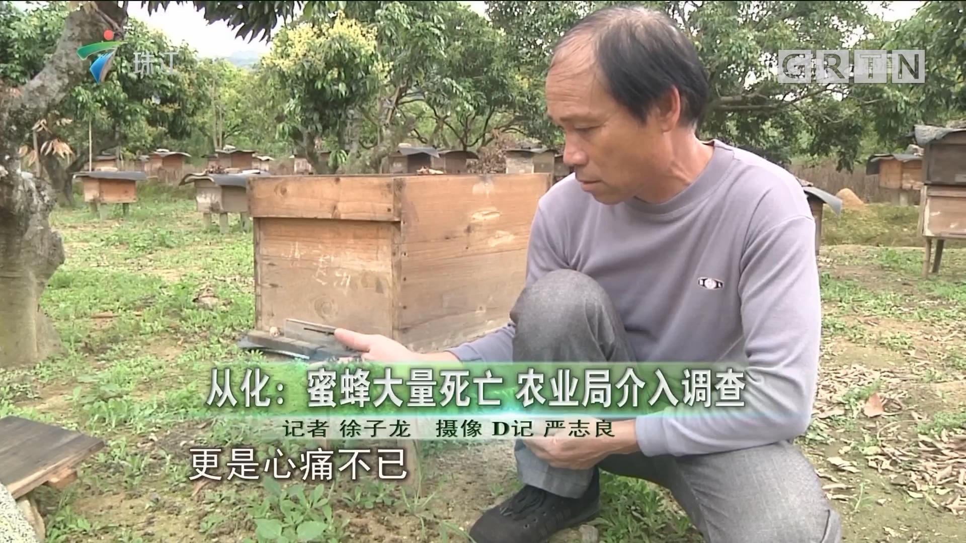 从化:蜜蜂大量死亡 农业局介入调查