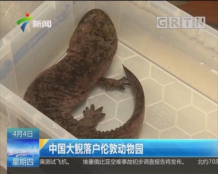中国大鯢落户伦敦动物园