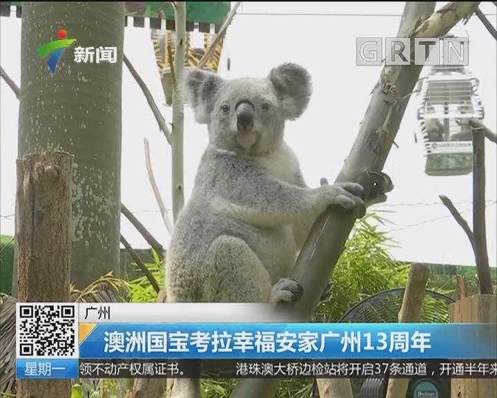 广州:澳洲国宝考拉幸福安家广州13周年
