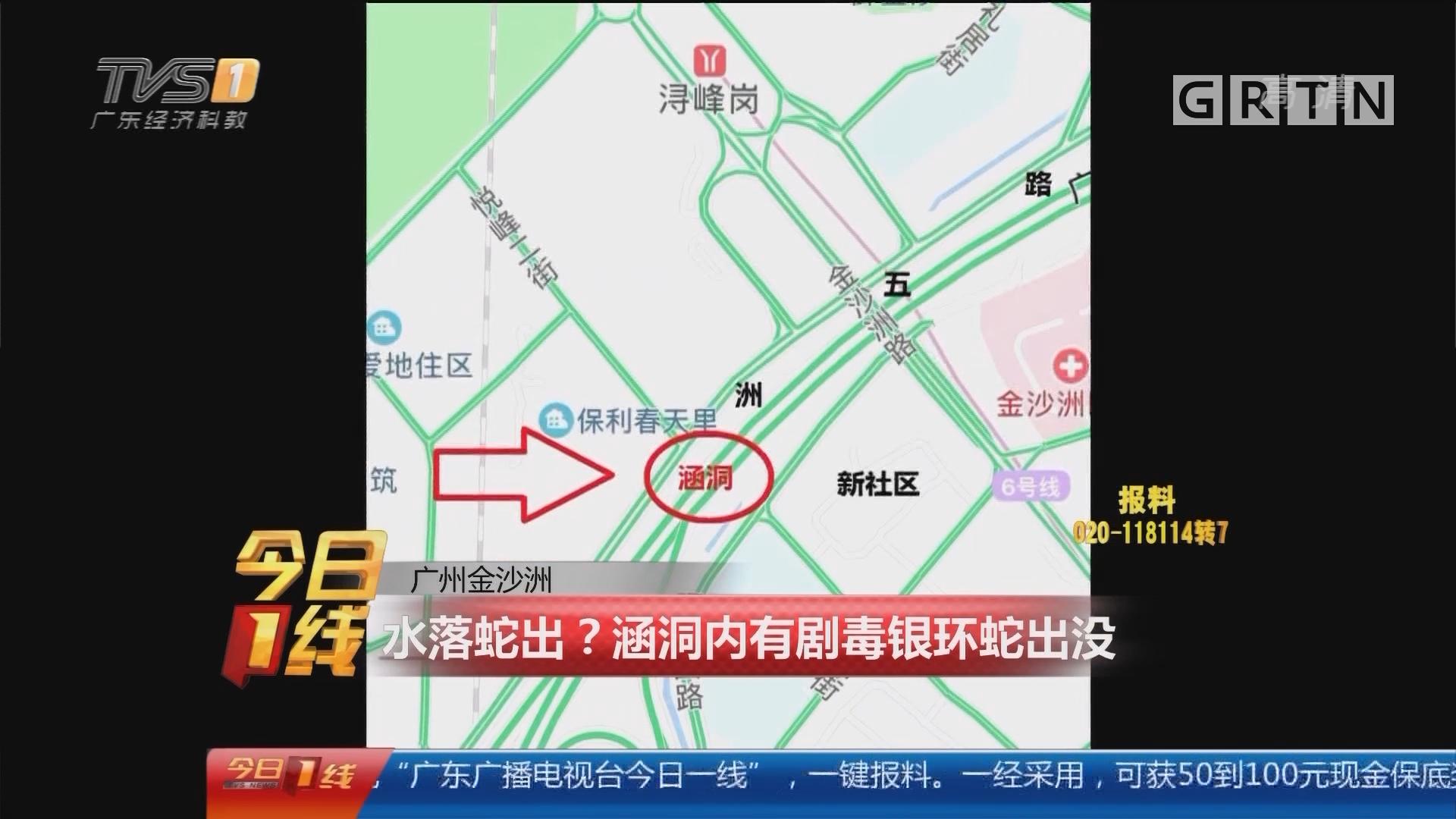 广州金沙洲:水落蛇出?涵洞内有剧毒银环蛇出没